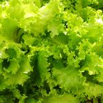 レタス栽培はプランターでもできる?期間や虫対策について