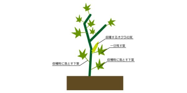 オクラのプランターでの栽培方法や時期。病気・虫対策まで