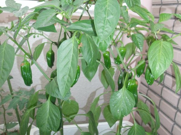 ピーマンのプランターでの栽培方法。育て方・時期について