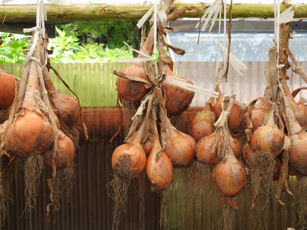 玉ねぎの冷凍・冷蔵保存の方法と期間。吊るし方も解説。