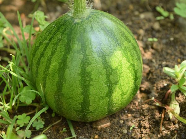 大玉スイカのプランター栽培。育て方のコツ【初心者】