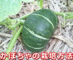 かぼちゃの栽培方法。摘芯など育て方の簡単なポイント