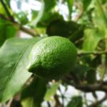 鉢植えでのレモンの育て方、種から収穫を解説