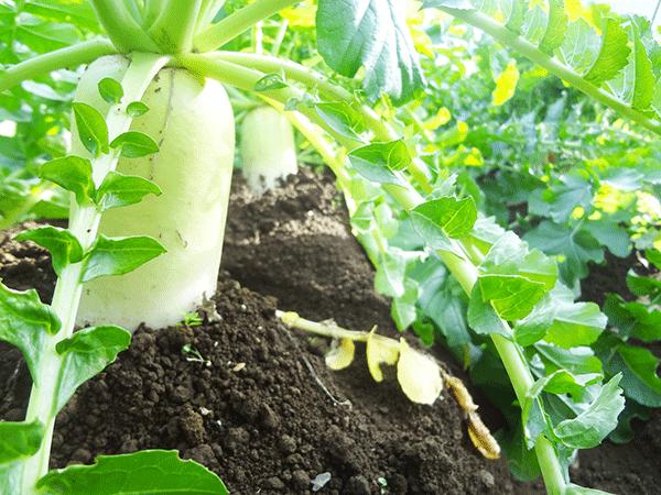 大根に栄養ない?効果的な食べ方は生。加熱すると?